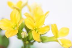 Kalanchoe blossfeldiana Stock Photos