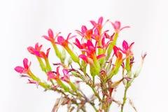 Kalanchoe blossfeldiana Stock Photography