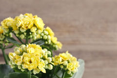 Kalanchoe blossfeldiana, commonly cultivated house plant Stock Photo