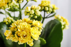Kalanchoe blossfeldiana, commonly cultivated house plant Royalty Free Stock Images