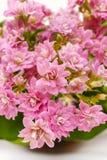 Kalanchoe blossfeldiana, commonly cultivated house plant Royalty Free Stock Photos