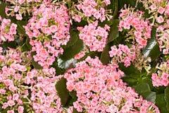 Kalanchoe - blossfeldiana de Kalanchoe del kerinci- Foto de archivo