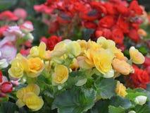 Kalanchoe blossfeldiana  Flaming Katy flower Royalty Free Stock Photo