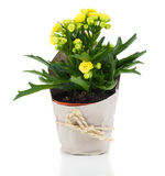 Kalanchoe blossfeldiana flower for gift in paper packaging Stock Photos