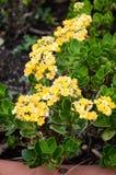 Kalanchoe blossfeldiana flower in nature garden Royalty Free Stock Images