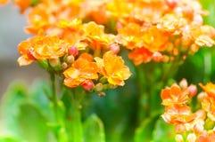 Kalanchoe blossfeldiana flower Royalty Free Stock Photography