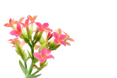Kalanchoe blossfeldiana flowers stock image