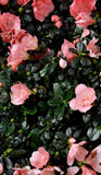 Kalanchoe blossfeldiana flower. Pattern of Kalanchoe blossfeldiana flowers as featured color and texture background Royalty Free Stock Photos