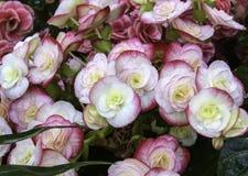 Kalanchoe Blossfeldiana Royalty Free Stock Photography