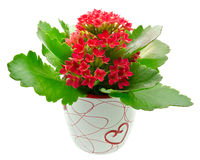 Kalanchoe blossfeldiana red flower Royalty Free Stock Photos