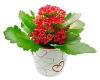 Free Kalanchoe Blossfeldiana Red Flower Royalty Free Stock Photos - 19629998