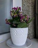 Kalanchoe blossfeldiana royalty free stock images