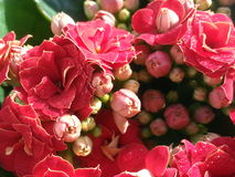 Kalanchoe blossfeldiana Royalty Free Stock Image
