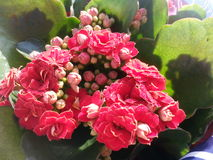 Kalanchoe blossfeldiana Royalty Free Stock Photo