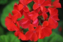 Kalanchoe blossfeldiana Stock Photo