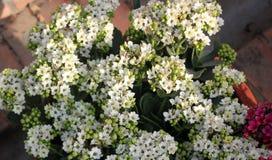 Kalanchoe blossfeldiana white Royalty Free Stock Photography
