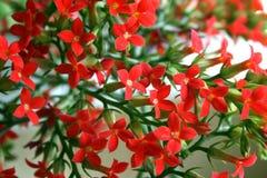 Kalanchoe Blumen Lizenzfreies Stockfoto