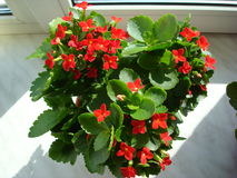Kalanchoe. A bright red Kalanchoe in a pot Royalty Free Stock Images