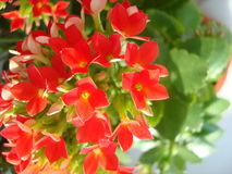Kalanchoe. A bright red Kalanchoe in a pot Stock Photo