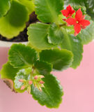 Kalanchoe bud Stock Photo