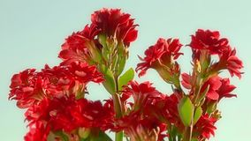 Kalanchoe - Buddhist temple herb stock video footage
