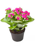 Kalanchoe  Calandiva Royalty Free Stock Photo
