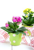 Kalanchoe Calandiva flowers Royalty Free Stock Images
