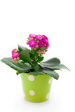 Kalanchoe Calandiva flowers Stock Photography