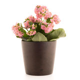 Kalanchoe Calandiva flowers Stock Images