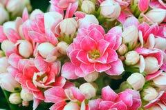 Kalanchoe Calandiva kwiaty Zdjęcie Stock