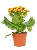 Kalanchoe  Calandiva yellow flower in a pot isolated on white ba Royalty Free Stock Photo
