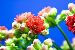 Kalanchoe. Close uo of a red blossom Stock Images