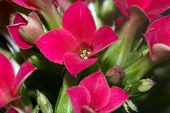 Kalanchoe. Close up of a red blossom of a Kalanchoe Royalty Free Stock Photography