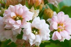 Kalanchoe cor-de-rosa Fotografia de Stock Royalty Free