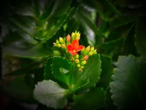 Kalanchoe crassulaceae - new bloom of this succulent live plant. Among green leaves Royalty Free Stock Images