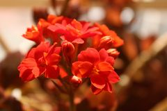 Kalanchoe daigremontiana flower in the garden royalty free stock photo