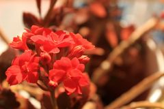 Kalanchoe daigremontiana flower in the garden stock photography