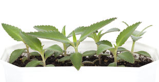 Kalanchoe daigremontiana. Plant in pot (kalanchoe daigremontiana) on white background Stock Photos