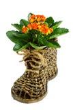Kalanchoe de mimbre del zapato y de la flor en un fondo blanco Fotografía de archivo libre de regalías
