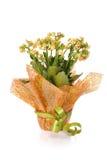 Kalanchoe di fioritura spostato come regalo immagini stock