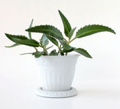 Kalanchoe diagremontiana. Kalanchoe plant on white pot; white background Stock Photos