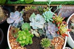 Kalanchoe e succulente Fotografia Stock Libera da Diritti