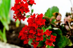 Kalanchoe - Flaming katy, Christmas kalanchoe or Fortune Flower is a flower with intense red colors royalty free stock photos