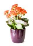 Kalanchoe floreciente Fotografía de archivo libre de regalías