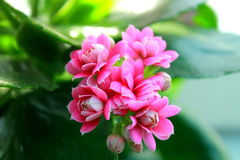 Kalanchoe floreciente Imagen de archivo libre de regalías