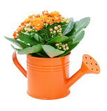 Kalanchoe flower. In a orange water-pot isolated on white Stock Photography
