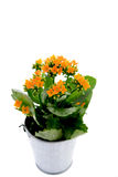 Kalanchoe flower. Kalanchoe home flower in a pail over white Royalty Free Stock Photo