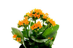 Kalanchoe flower Royalty Free Stock Photos