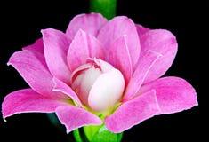 Kalanchoe Flower Blossom macro Royalty Free Stock Photo