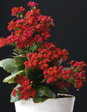 Kalanchoe flower blossoms Stock Photos